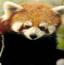 隐藏的动物之小熊猫