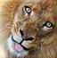 超萌狮子对对碰